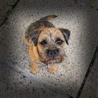 Margaux the Border Terrier